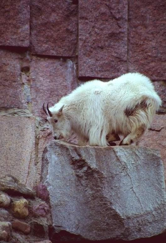 Снежная коза.